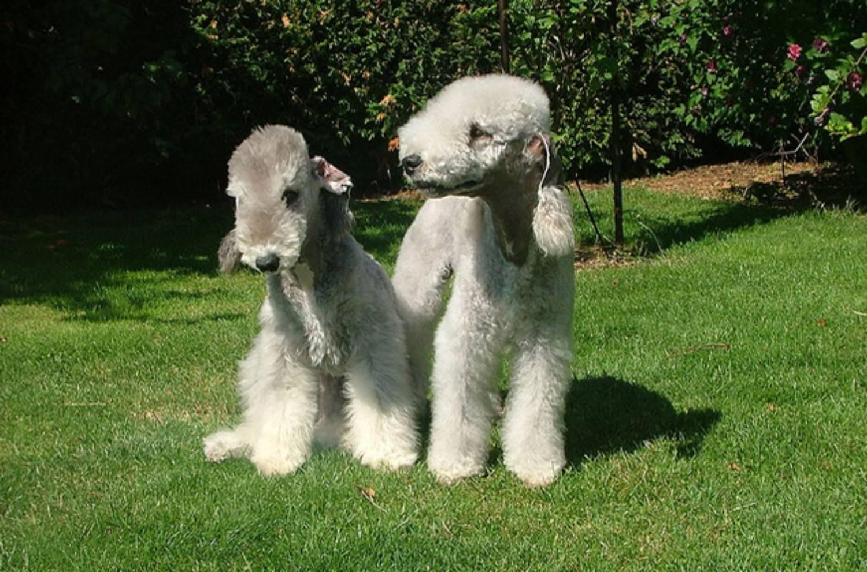 Бедлингтон-терьер: фото, описание породы, щенки, характеристика, размеры, стандарт собаки, стоимость