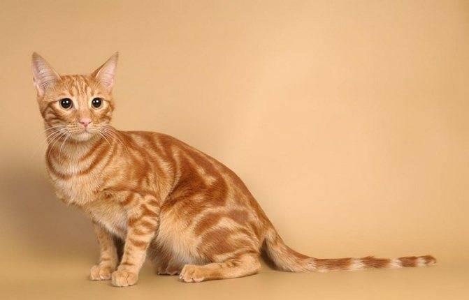 Ориентальная кошка ? фото, описание, характер, факты, плюсы, минусы кошки ✔