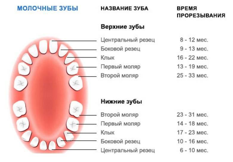 Коренные и молочные зубы у собак   смена, в каком возрасте, схема