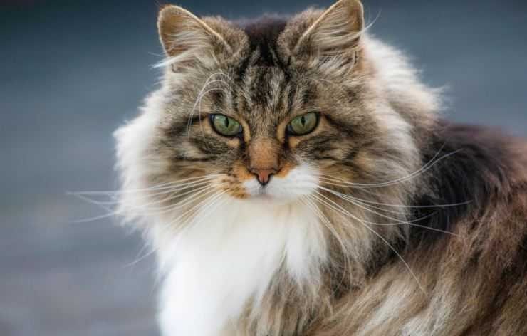 Норвежская лесная кошка: описание породы, характер, цена, содержание и уход, фото