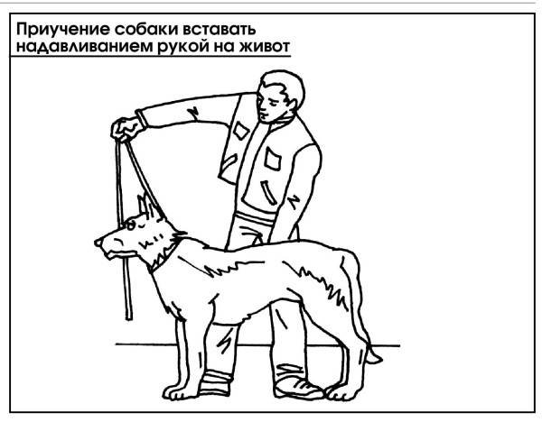 Как научить собаку команде стоять