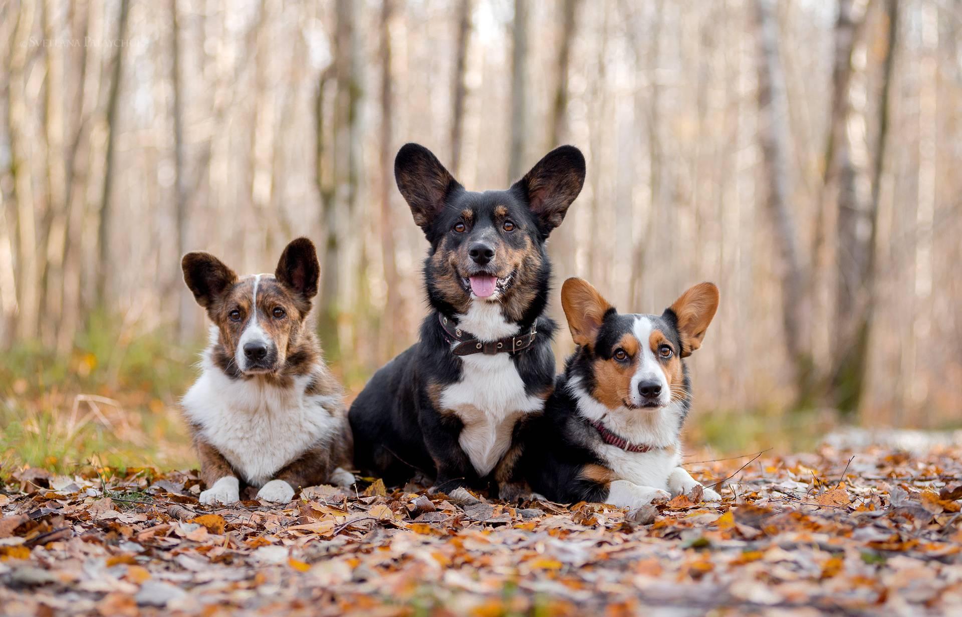 Вельши корги пемброк: отличия породы от кардигана, список питомников с ценой, фото собак и щенков, описание и характеристика стандарта с окрасами и отзывы владельцев