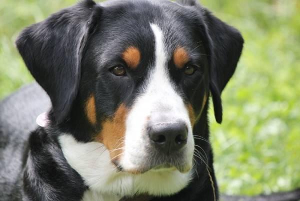Собака большой швейцарский зенненхунд