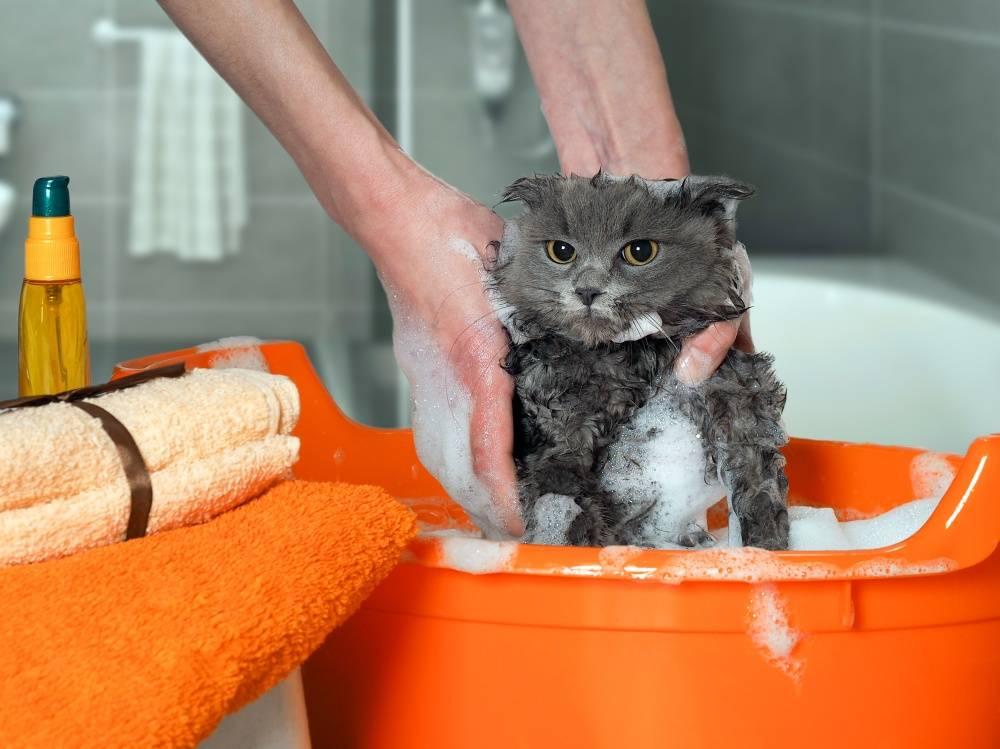Как приучить кошку к воде. практические советы