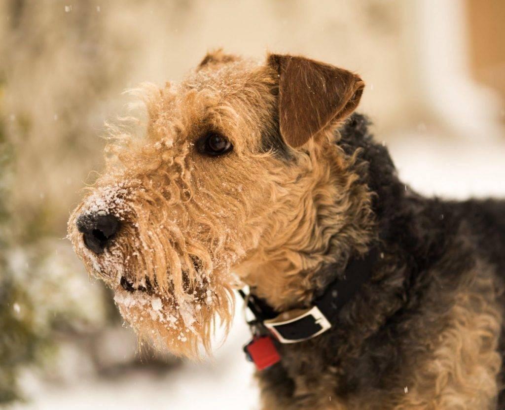 Эрдельтерьер: описание породы с фото, характер собаки и отзывы владельцев