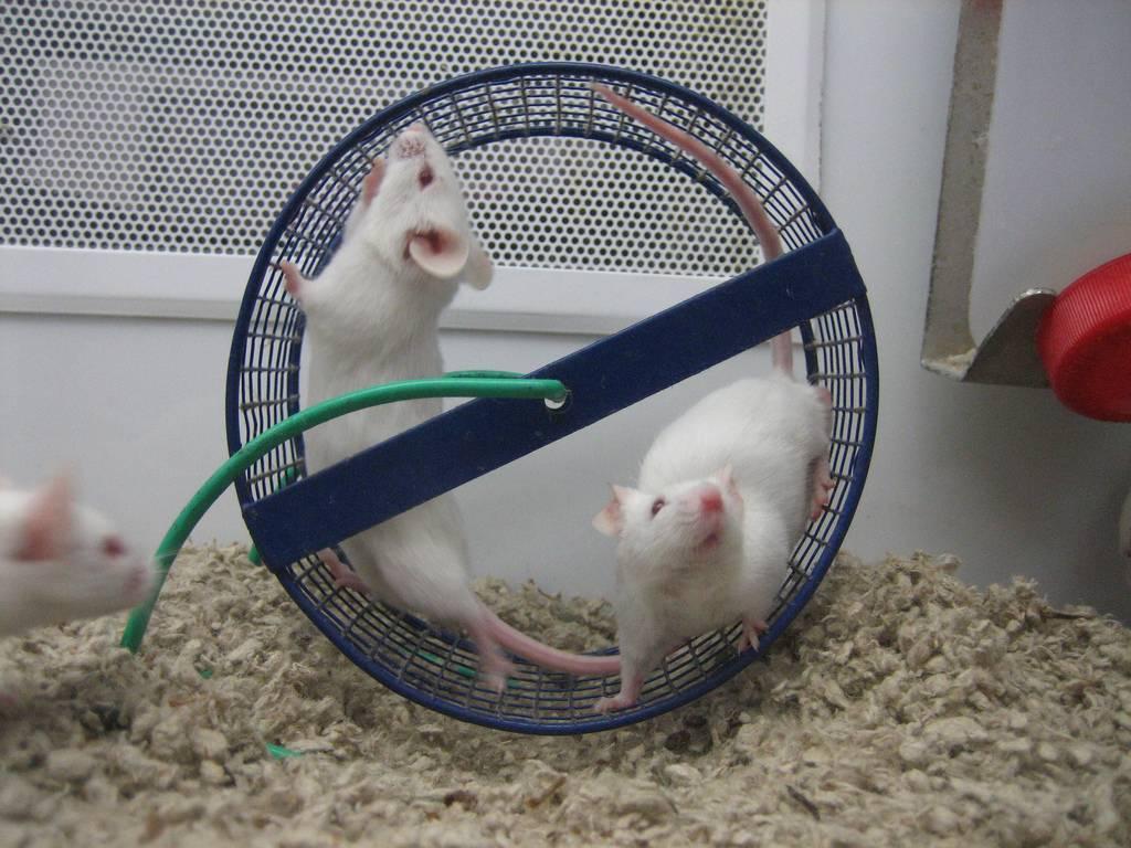 Мышь – описание, виды, где обитает, чем питается, фото
