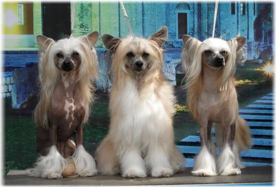 Китайская хохлатая собака: описание породы, особенности внешнего вида, интересные факты