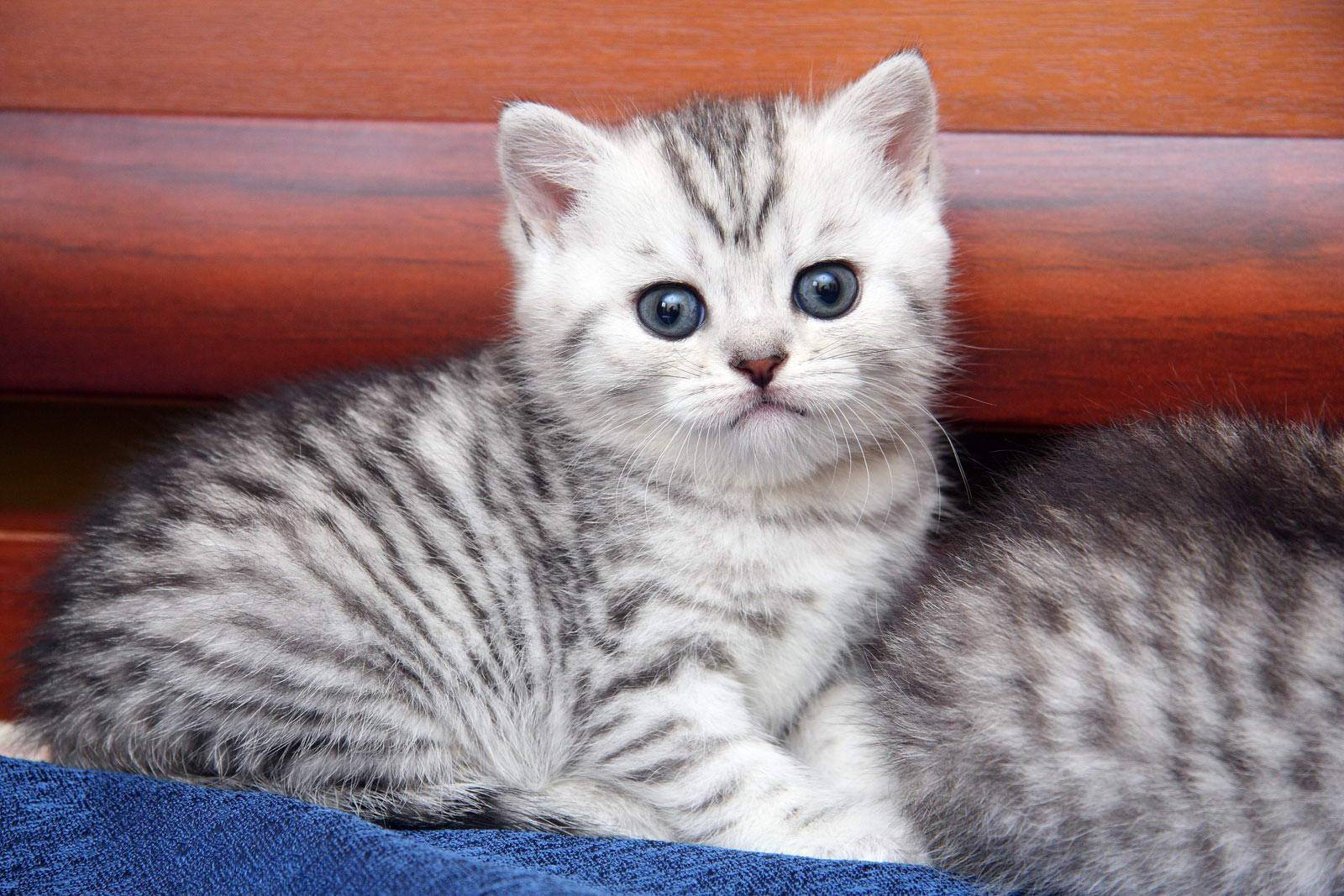 Порода котёнка из рекламы «вискас»: фото и видео   сайт «мурло»