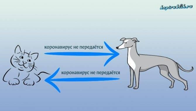 Короновирусная инфекция и гастроэнтерит у кошек