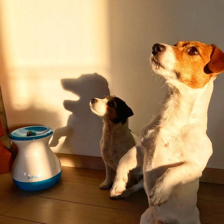 Как приучить щенка к туалету в доме и на улице - джек рассел (jack russell)