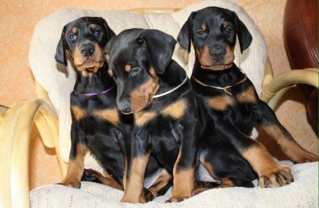 Клички для пекинеса мальчика и девочки - как назвать щенка, список лучших кличек и имен - mydognames