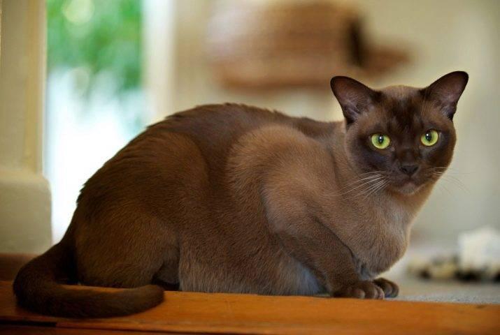 Бурманская кошка — плюсы и минусы