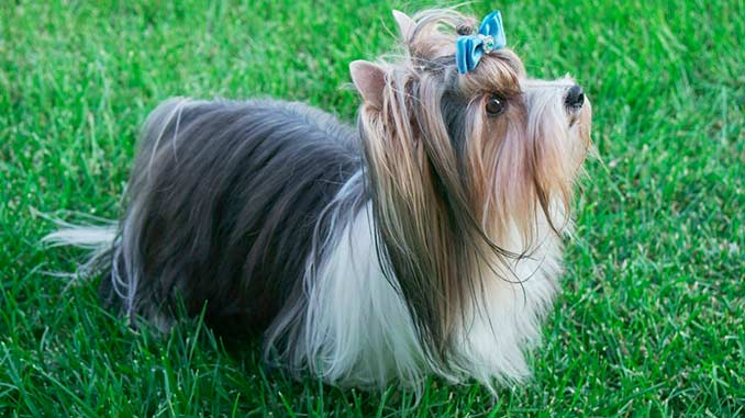 Йоркширские терьеры (72 фото): описание породы, размеры щенят и взрослых собак. особенности характера. виды и окрасы. отзывы владельцев