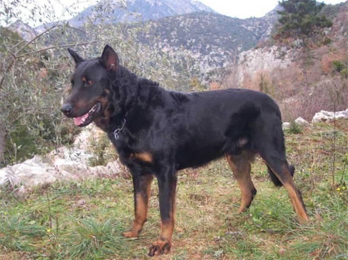 Бриар: все о собаке, фото, описание породы, характер, цена