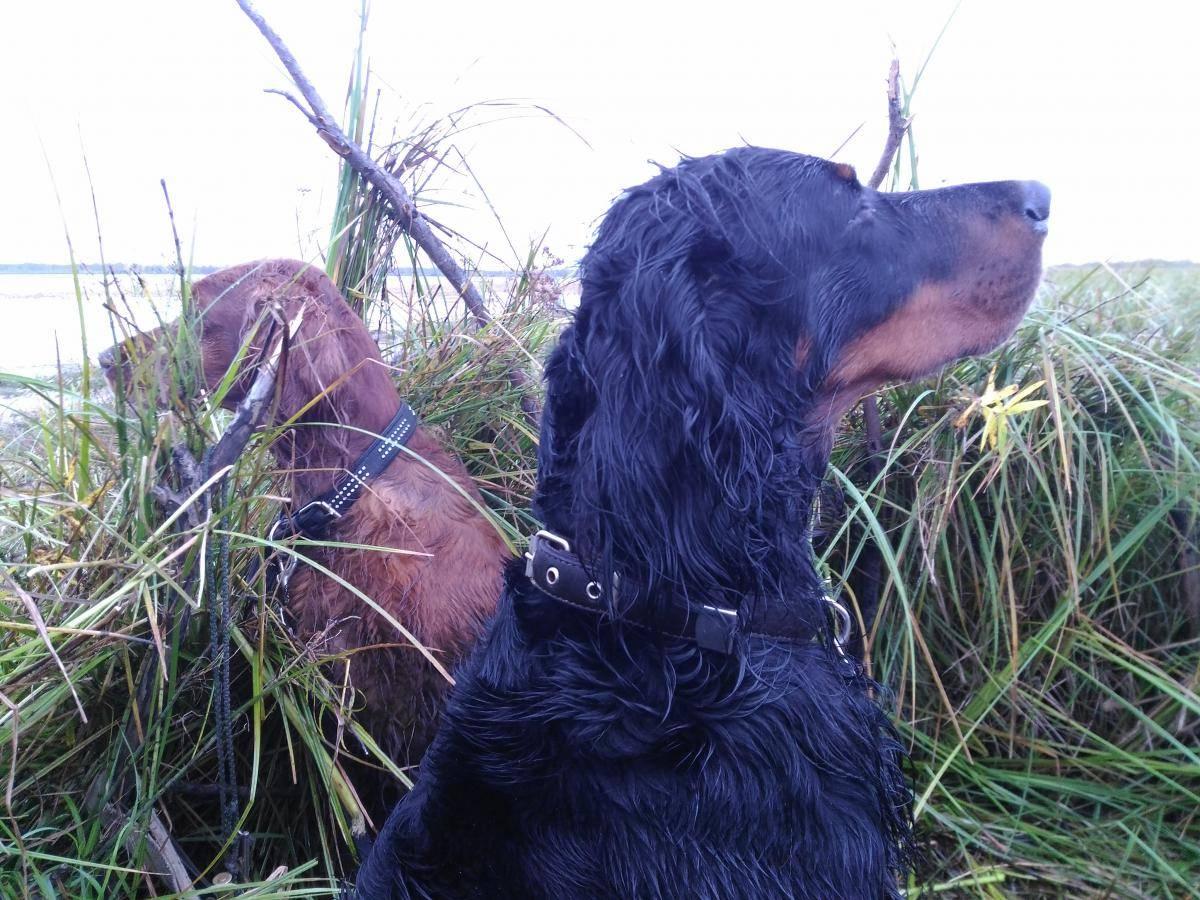 Шотландский сеттер - описание породы и характер собаки