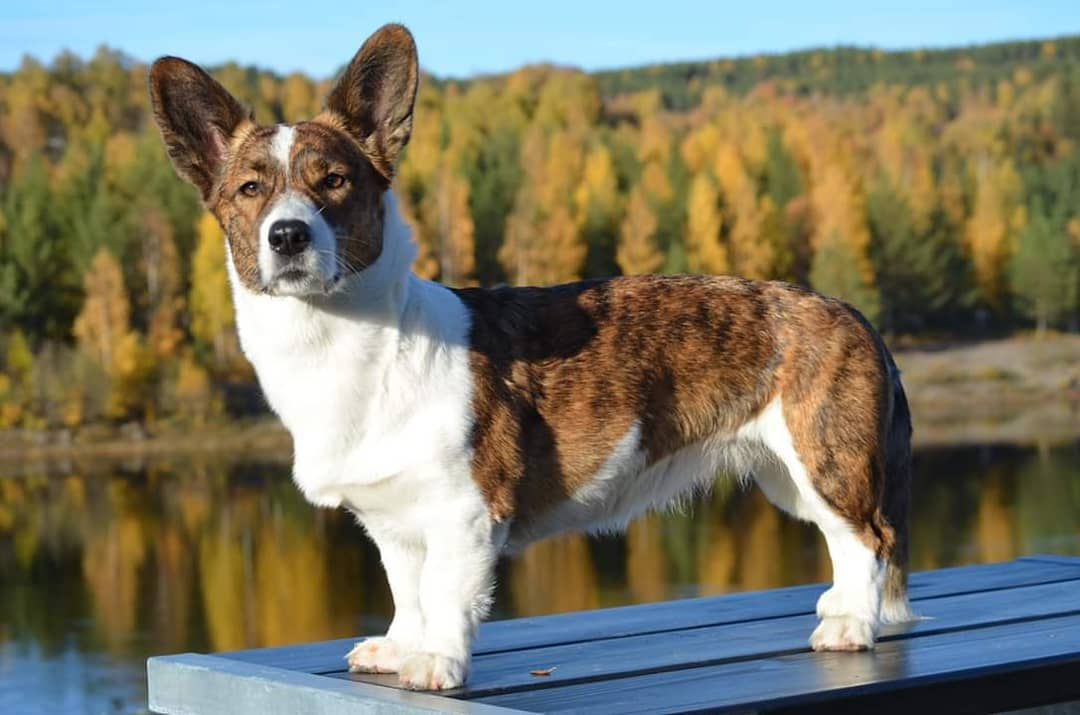 Вельш корги кардиган: описание породы собак