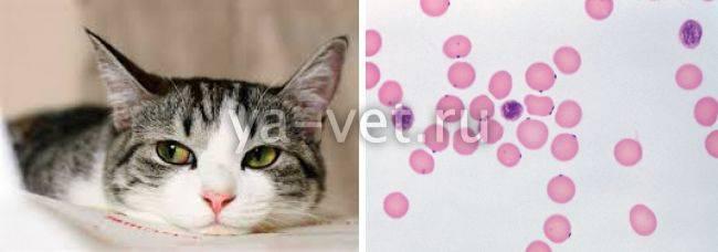 Гемобартонеллез у кошек — симптомы и лечение | zdavnews.ru