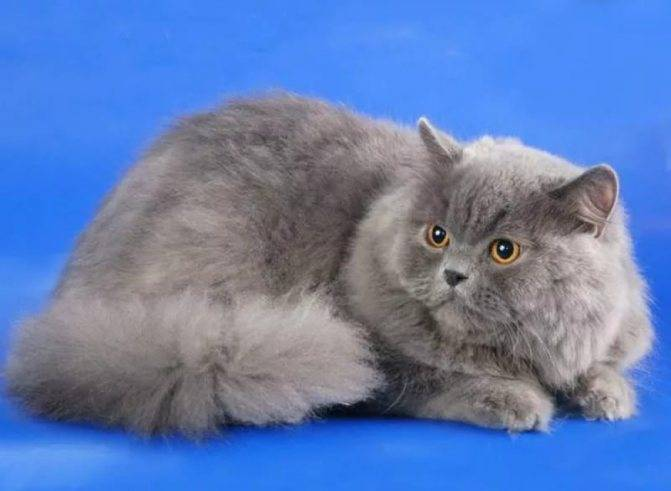 Хайленд-фолд – шотландская вислоухая длинношерстная кошка: описание породы