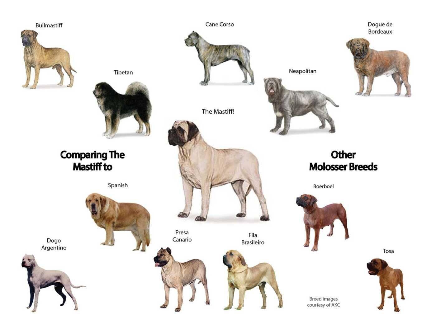 Молоссы (собаки) — википедия. что такое молоссы (собаки)