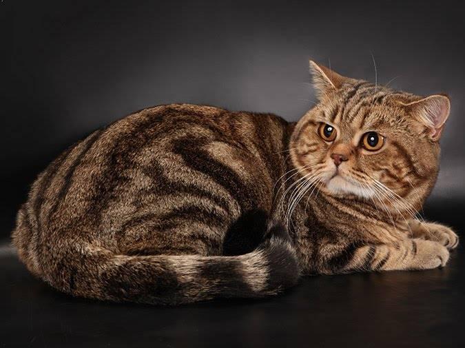 Британская кошка табби: все виды окраса, фото