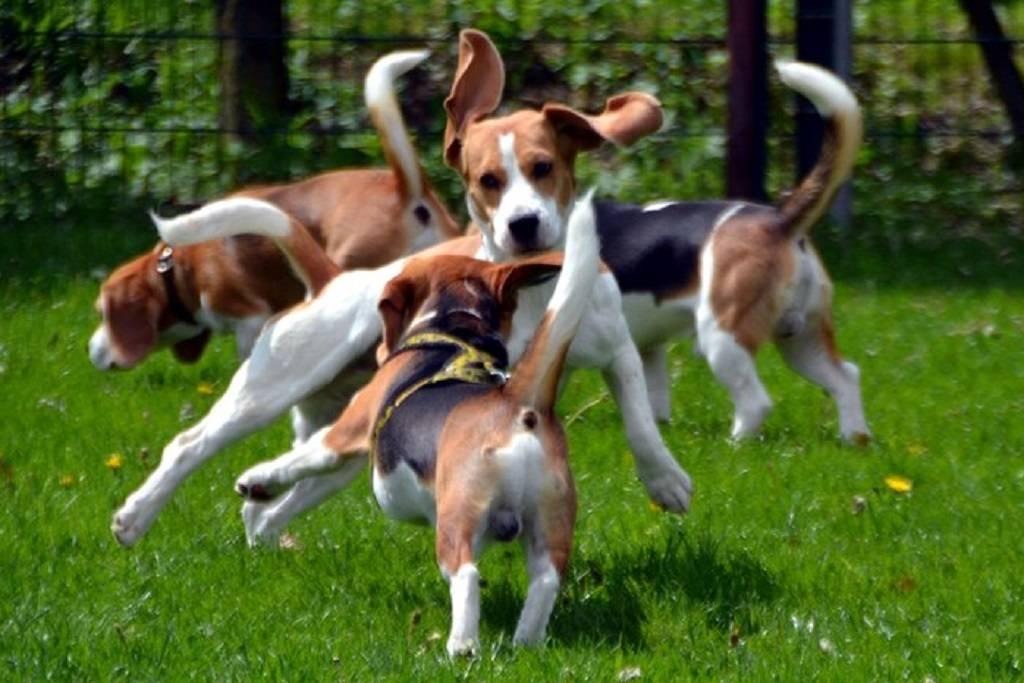 Как правильно содержать бигля в квартире и ухаживать за породой собак
