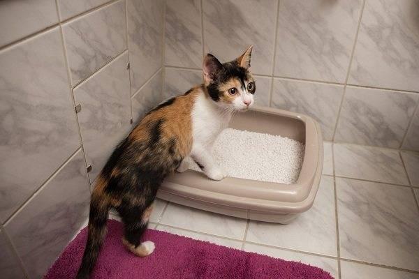 Кровь в кале у кота: причины и лечение