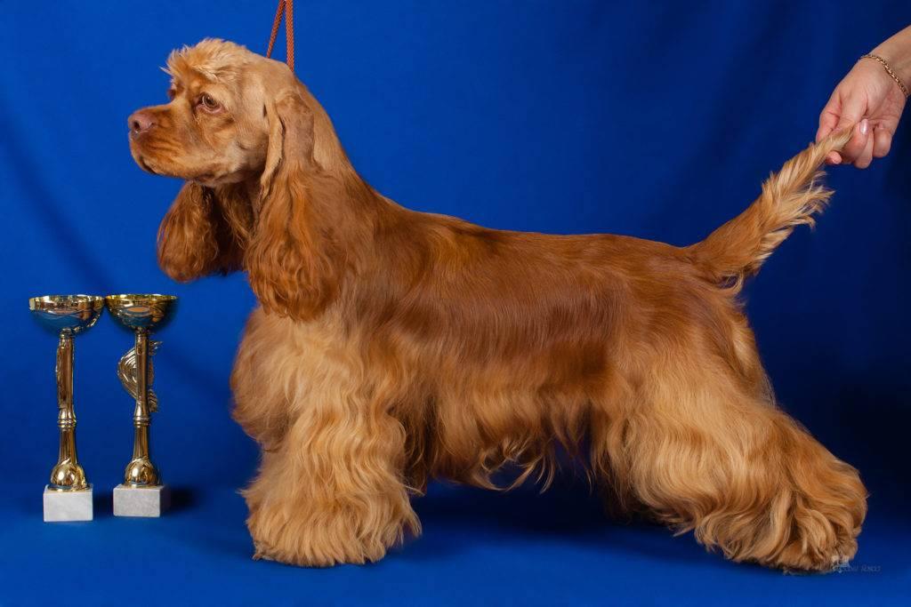 Американский кокер-спаниель: все о собаке, плюсы и минусы
