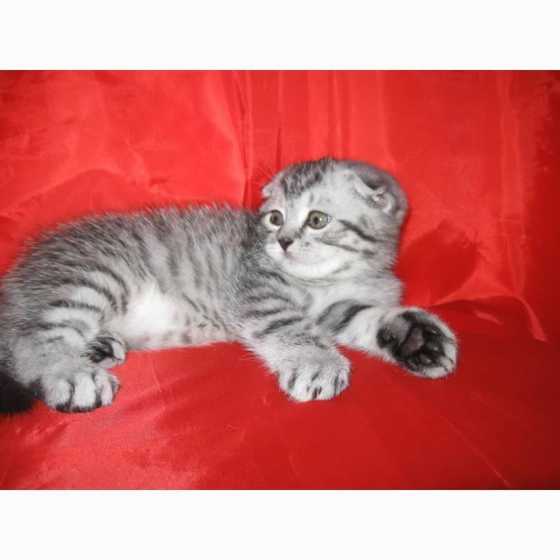 Самый полный список имен для шотландских вислоухих кошек