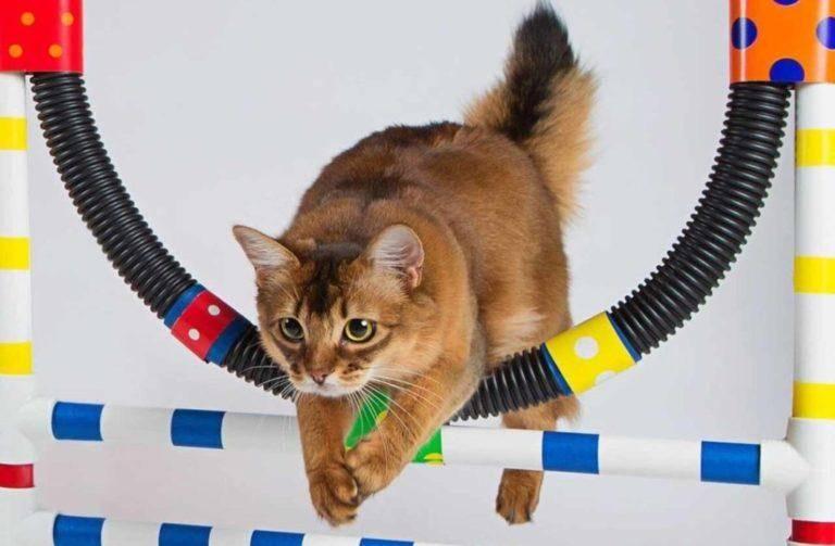 Как дрессировать кошку: основные команды и трюки