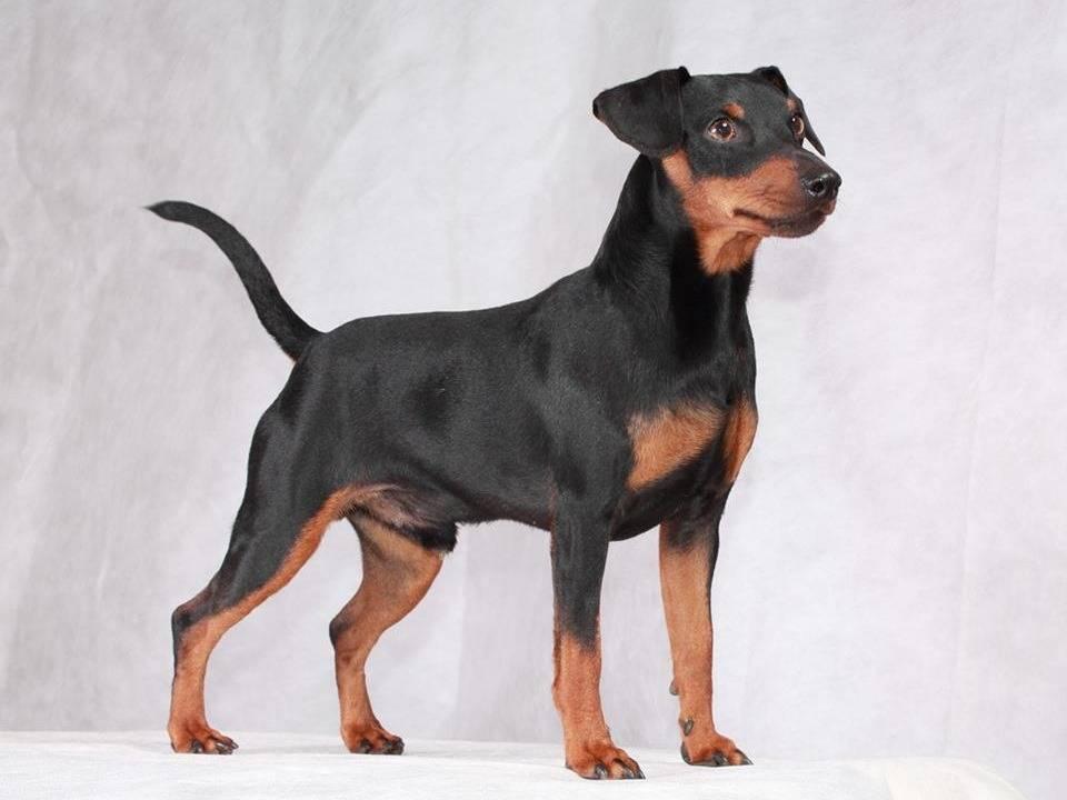 Мини-доберман цвергпинчер: как выглядит карликовый питомец на фото, описание породы маленькой собаки и сколько стоит
