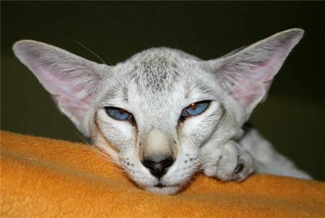 Породы кошек с пятнистым окрасом: как называются, особенности ухода за питомцем