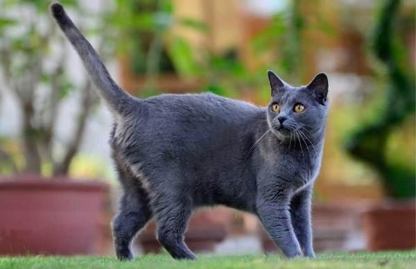 Картезианская кошка шартез: описание породы, 40 фото, цена котенка