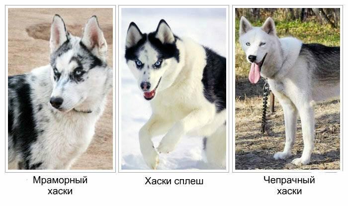 Симпатичные собаки хаски белого и другого окраса. характеристики и особенности породы
