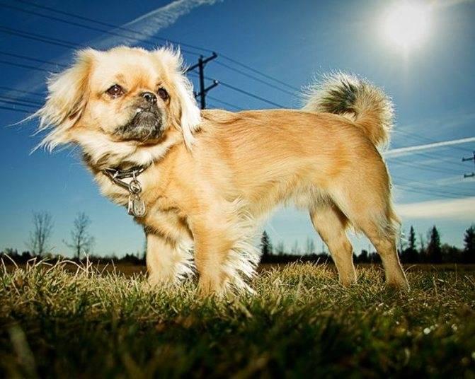 Тибетский спаниель фото описание породы, купить щенка спаниеля цена, отзывы владельцев
