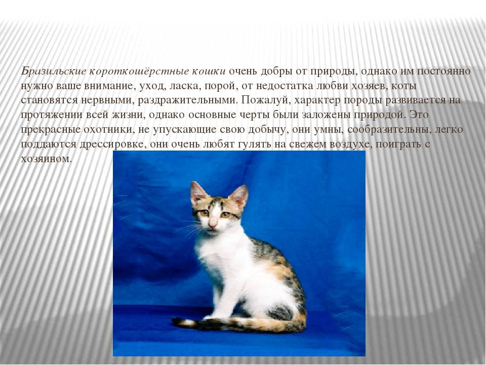 Невская маскарадная кошка (фото): оригинальная длинношерстная красавица