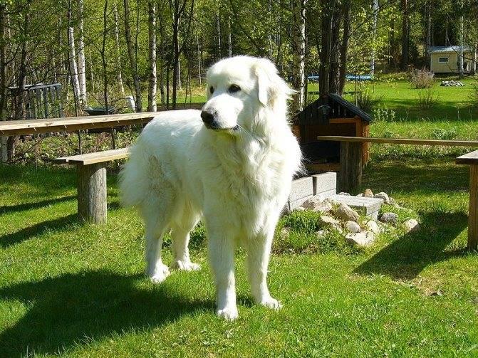Пиренейская горная собака - описание породы