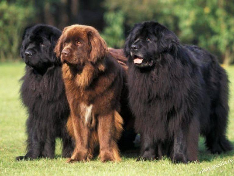 Подробное описание породы собак ньюфаундленд