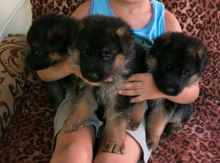 Прикорм щенков немецкой овчарки, чем кормить малышей в возрасте двух-трех недель