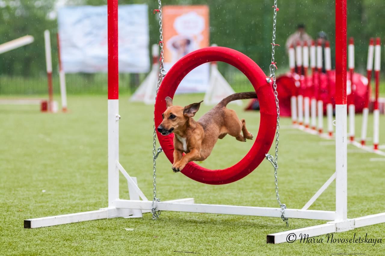 Аджилити для собак: что это, основные правила.