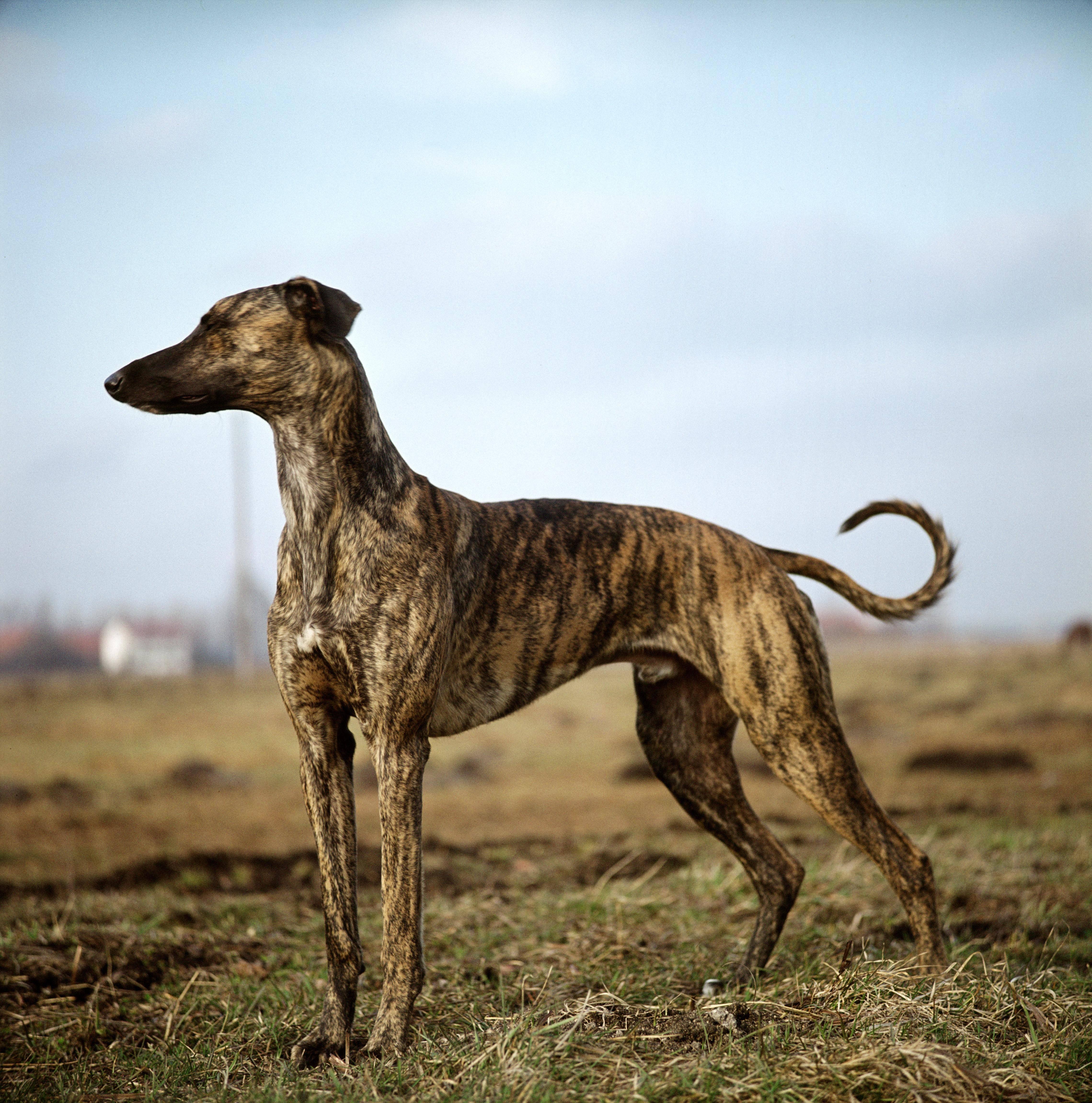 Уиппет собака: описание английской бозой, характеристика породы