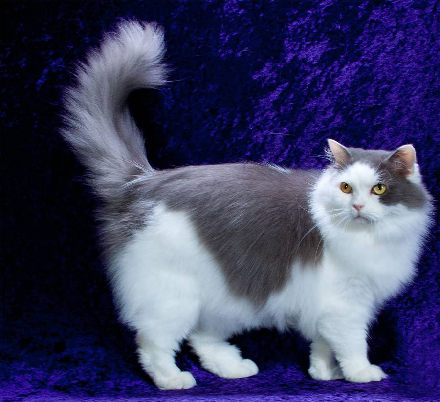 Самые яркие породы рыжих кошек — описание, характер, фото