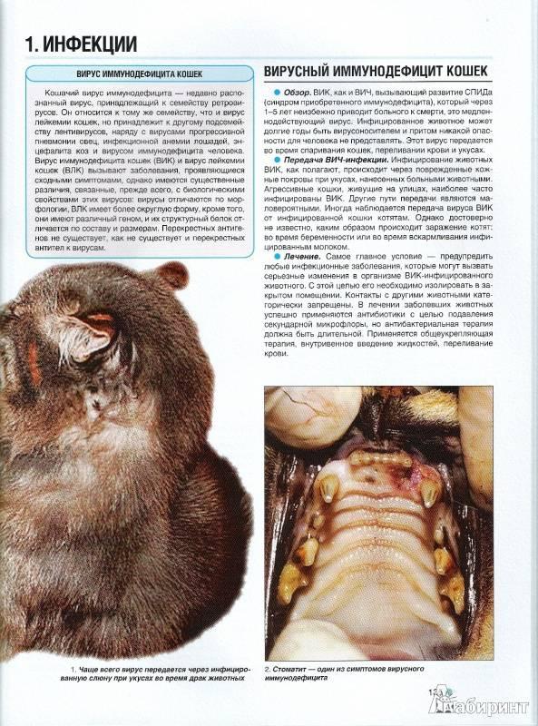 Вирусный иммунодефицит кошек: диагноз, а не приговор