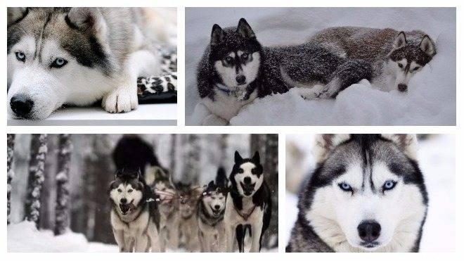 Якутская лайка — описание породы и характер собаки