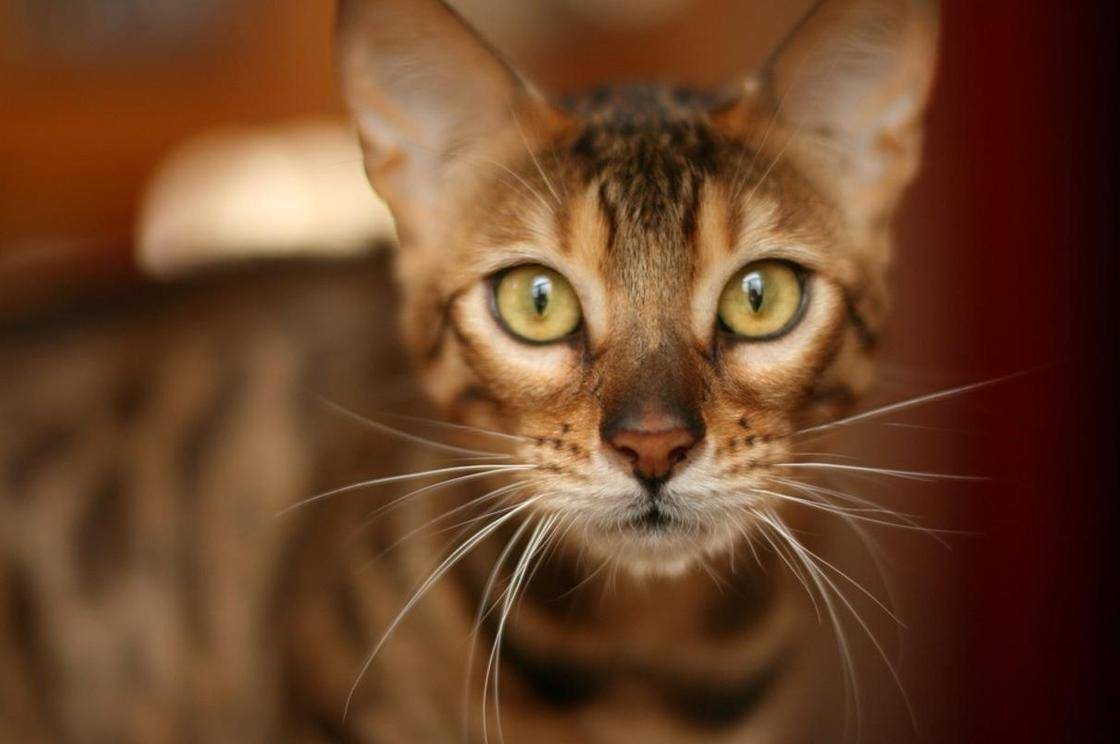 Бенгальские кошки — чудо бридинга