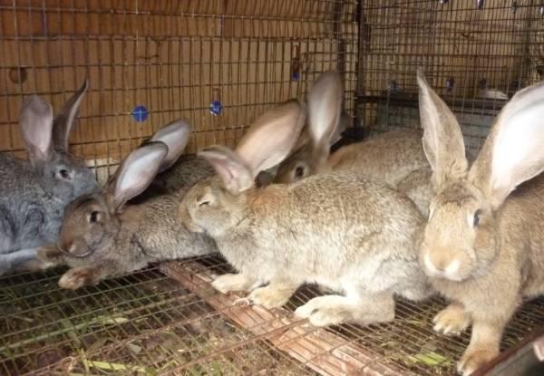 Кролики фландр (бельгийский великан): описание, содержание, фото