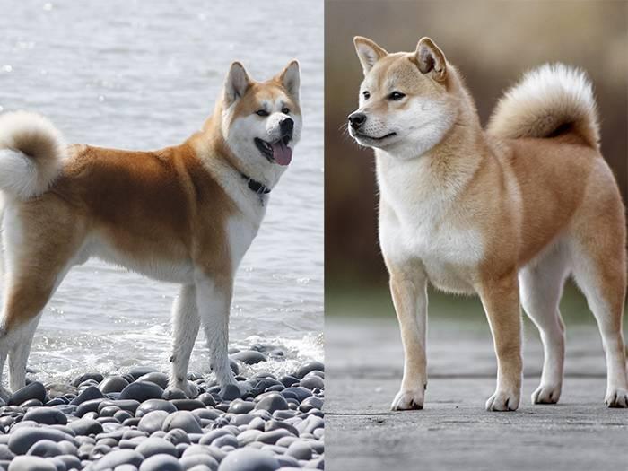 Хоккайдо (порода собак) — википедия. что такое хоккайдо (порода собак)