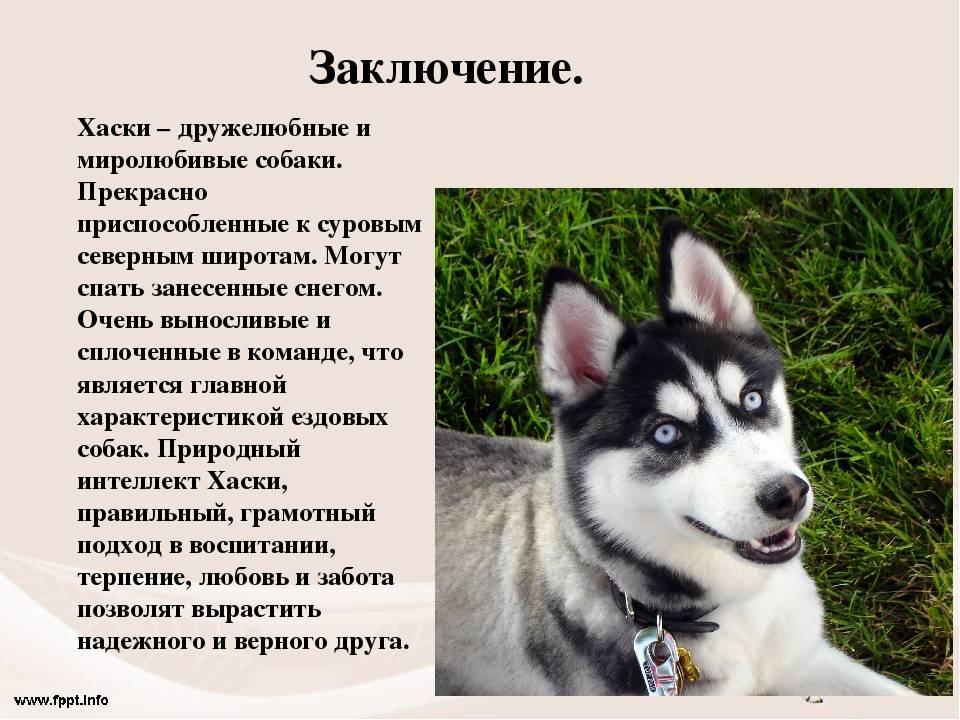 Восточно-сибирская лайка: фото, описание, характер, содержание, отзывы