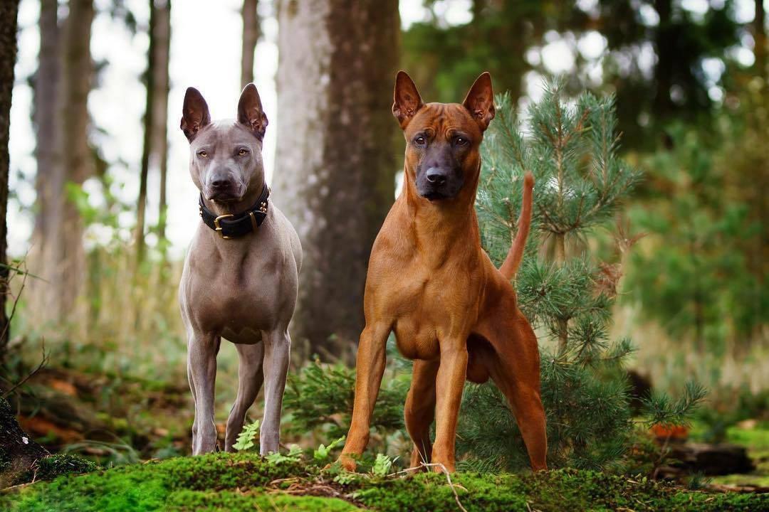 Внешность бывает обманчива! 5 пород собак с брутальной внешностью, но ангельским характером