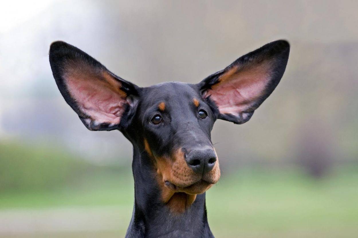 10 карликовых пород собак - породы с короткими лапами