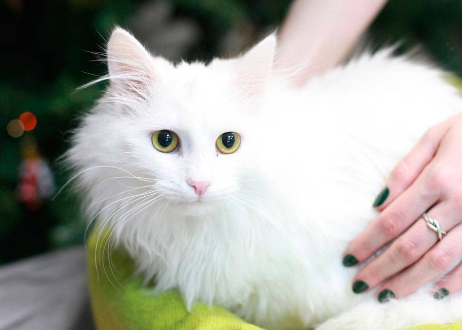Турецкая ангора (ангорская кошка): заморская снежная красавица